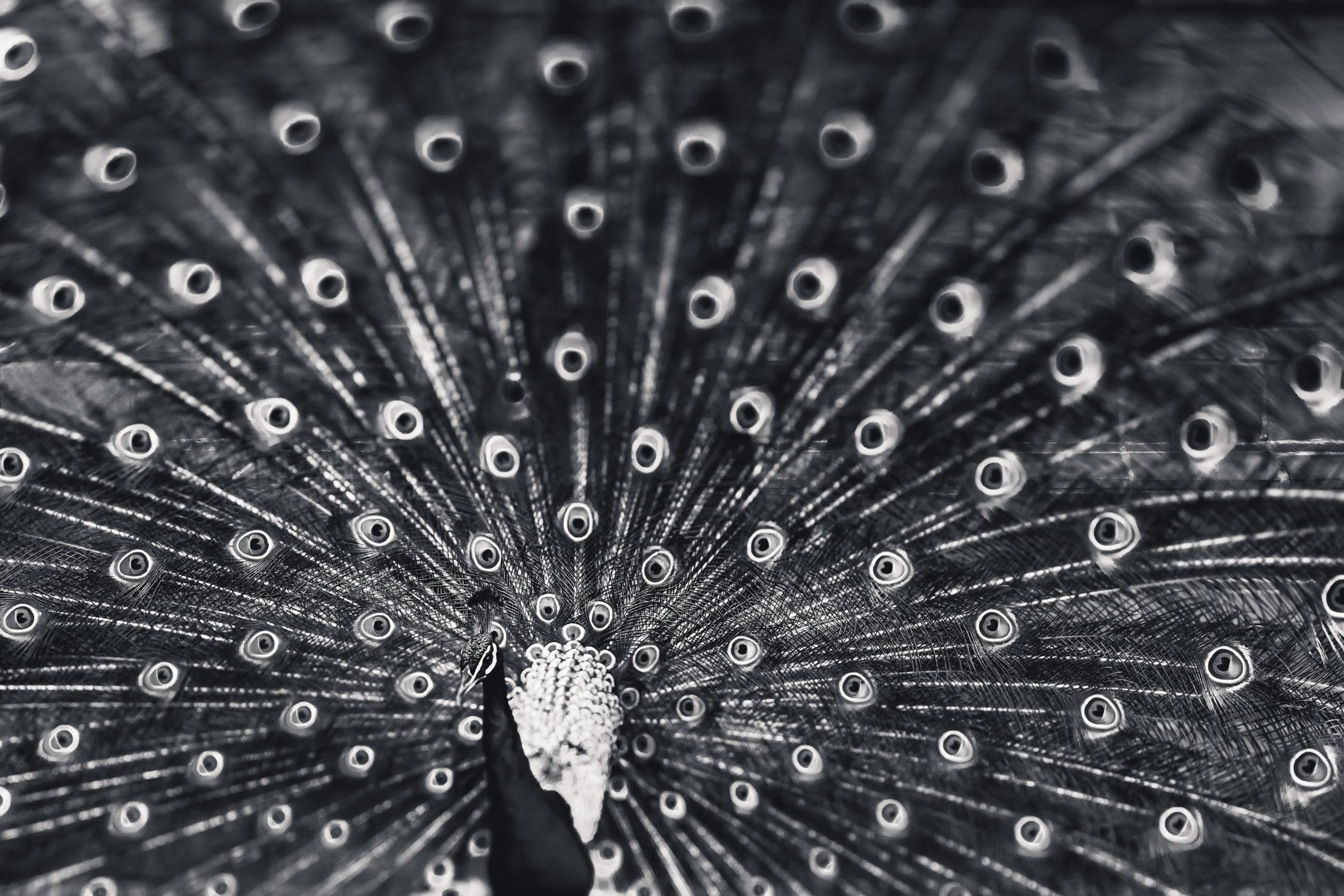 mesmerising peacock 1