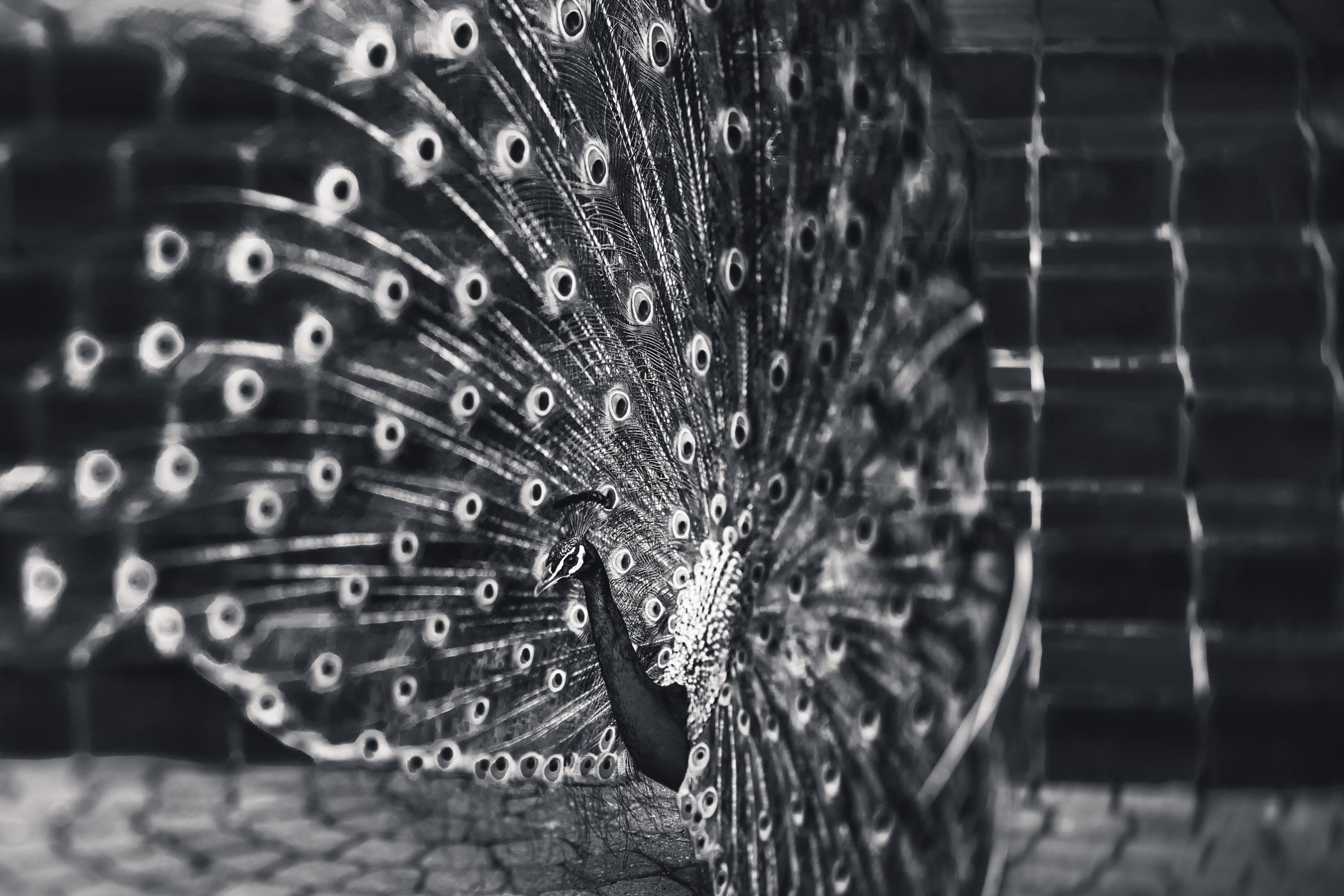 mesmerising peacocks 3